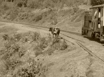cow on the tracks
